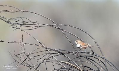 Banded Whiteface (Aphelocephala nigricincta)