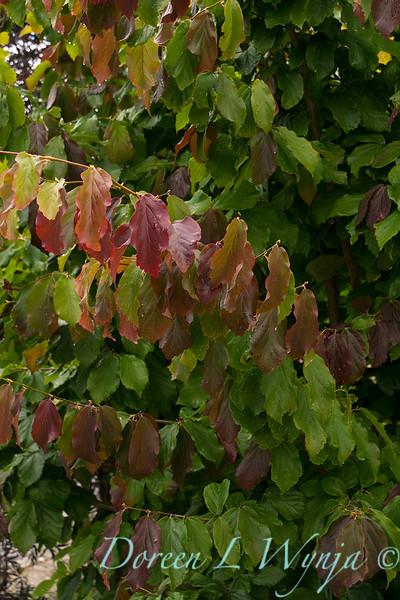 Parrotia persica_3955.jpg