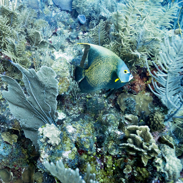 Fish with corals underwater, Dive Site, East Wall, Belize