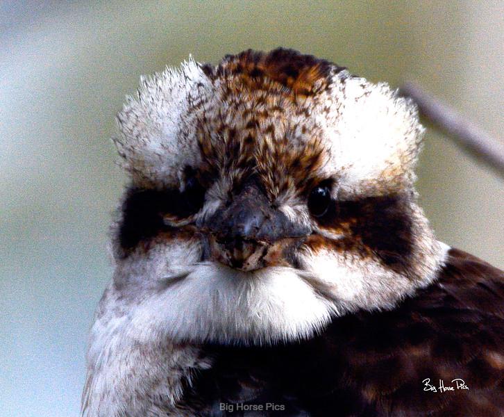 Kookaburra head on bhp.jpg