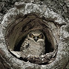 Great Horned Owl - II