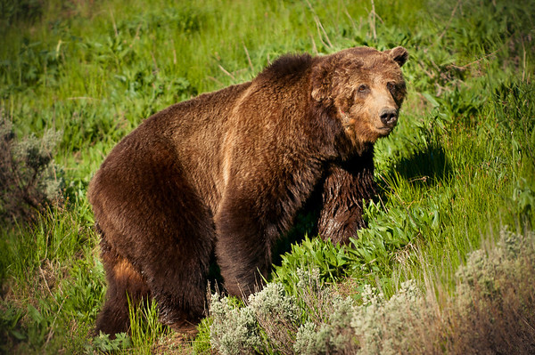 """Grizzly Bear """"Scarface"""""""