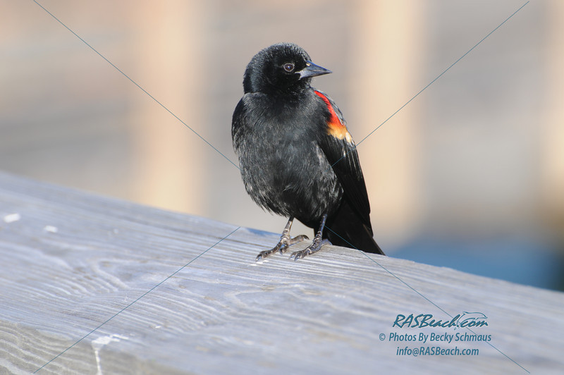 Red Wing Blackbird_293