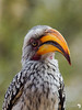 Yellow Billed Hornbill Portrait