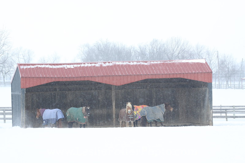 Horses Wearing Blankets in a Shelter During Snowstorm