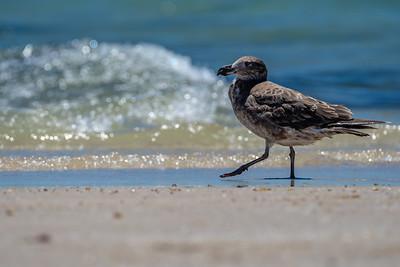 Pacific Gull [Larus pacificus]