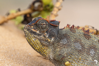 Close up with a Namaqua Chameleon