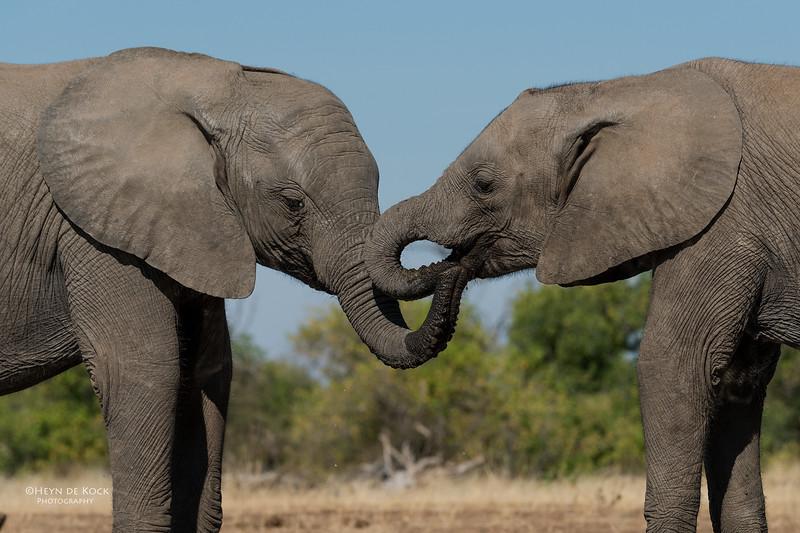 African Elephant, Mashatu GR, Botswana, May 2017-21.jpg