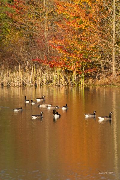 canada geese_7910.jpg
