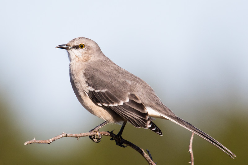 Mockingbird Cape May 2019-2.jpg