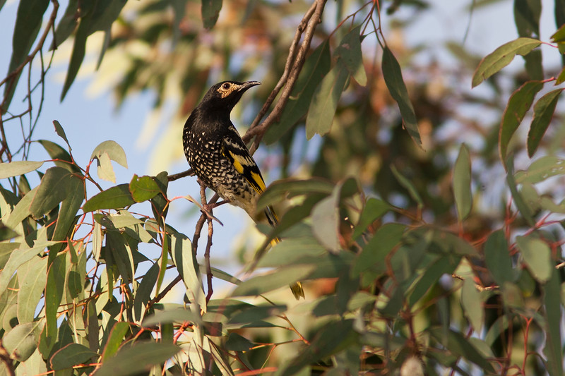 Regent-Honeyeater_MG_8469.jpg