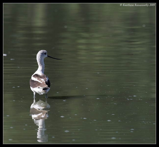 American Avocet, Lindo Lake, San Diego County, California, September 2009