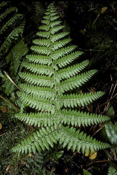 Athyrium microphyllum