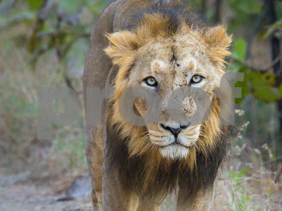 india-puts-18-lions-on-trial-for-murder-guilty-culprit-may-get-a-lifetime-sentence-in-zoo