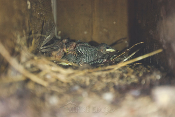 Banding Purple Martins - No Use Without Permission