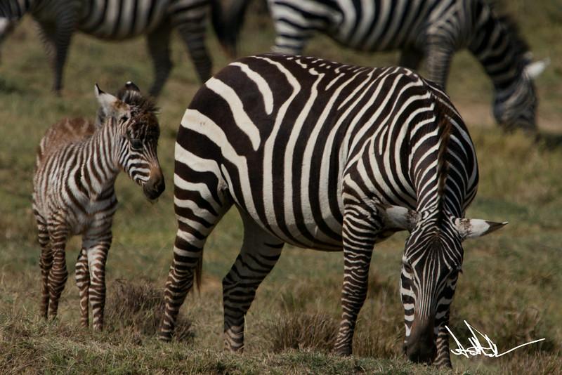 ZebraS-40.jpg