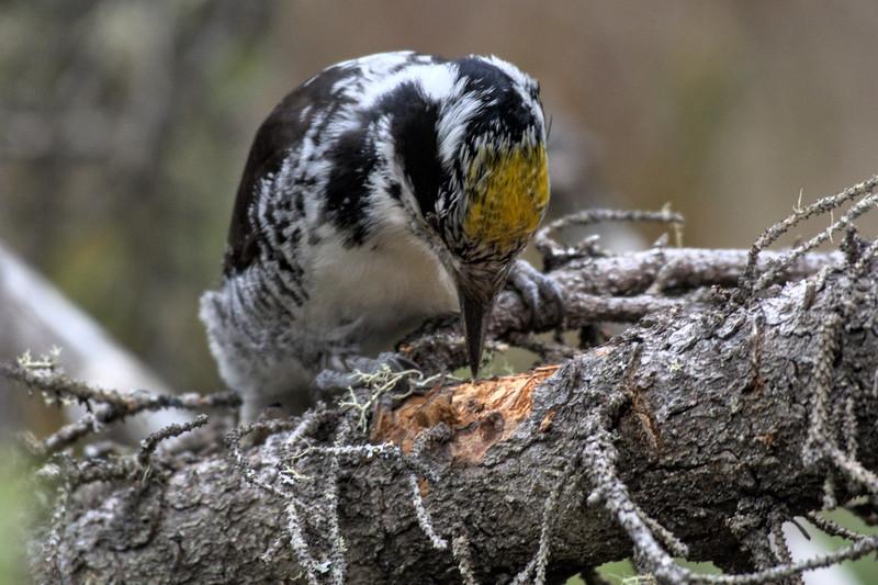 American Three-toed Woodpecker