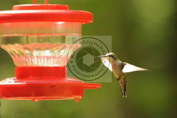 Hummingbirds 2014