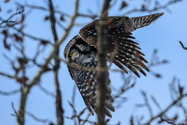 2-8-17 Northern Hawk Owl - InFlight