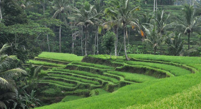 Terraced rice paddies.jpg