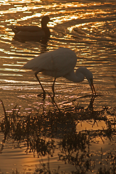 WB~Great Egret with mallardsunset1280.jpg