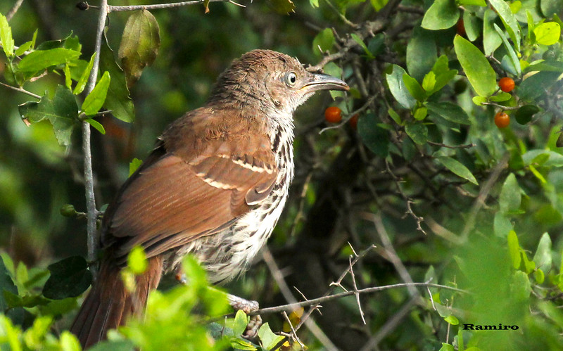 Brown Thrasher 6-6-15 055.jpg