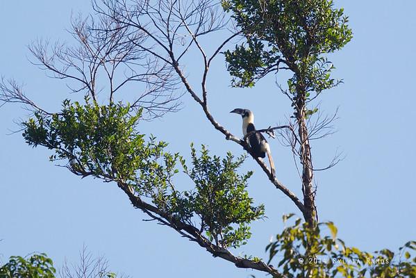 Samar Hornbill