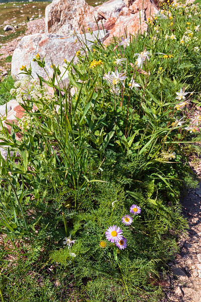 Asters And Columbines
