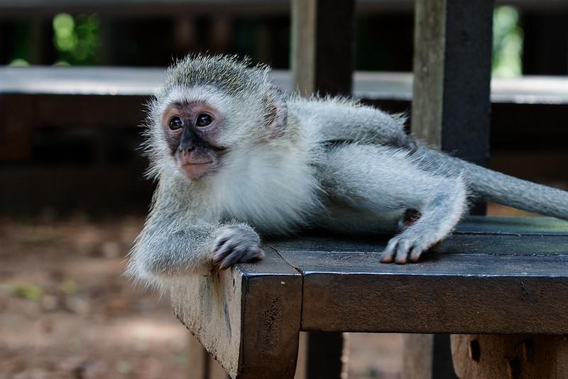 Vervet Monkey 1703011219.jpg