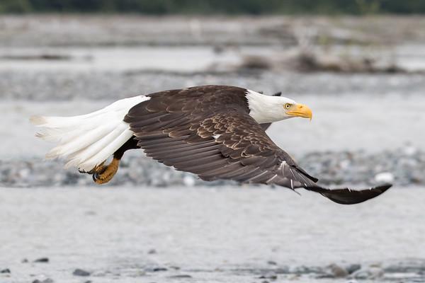 Chilkat Bald Eagle Preserve - Haines, Alaska