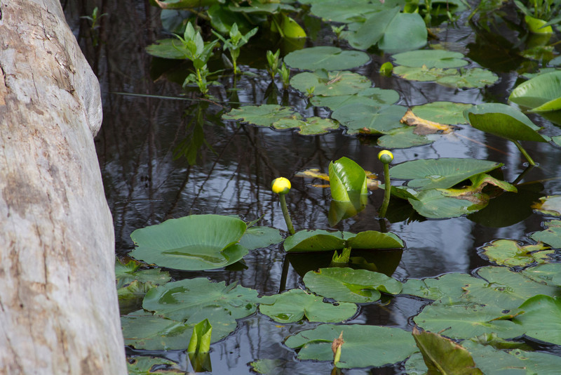 Nuphar luteum - Cow-Lily