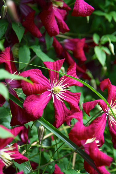 A smaller clematis that I thought I lost last year came back in full force this year