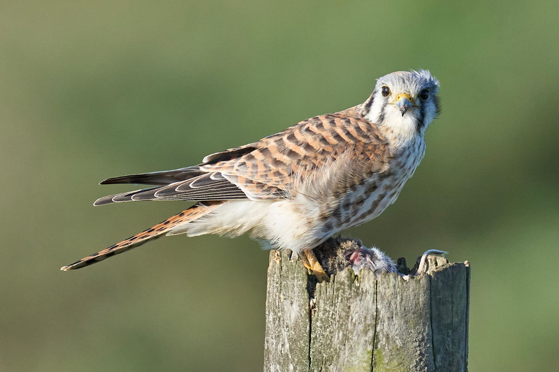 Kestrel Eating at Point Reyes