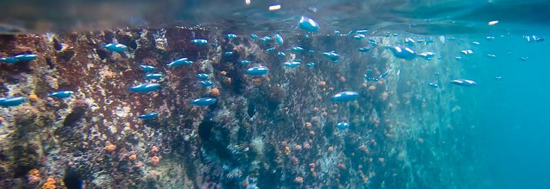 School of junevile Steel Pampano fish