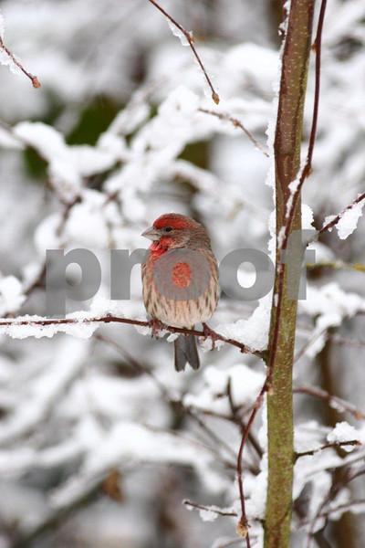 House finch in winter