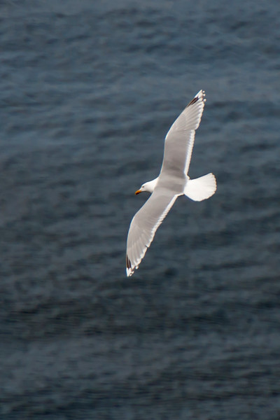 Herring Gull - Westman Islands, Iceland