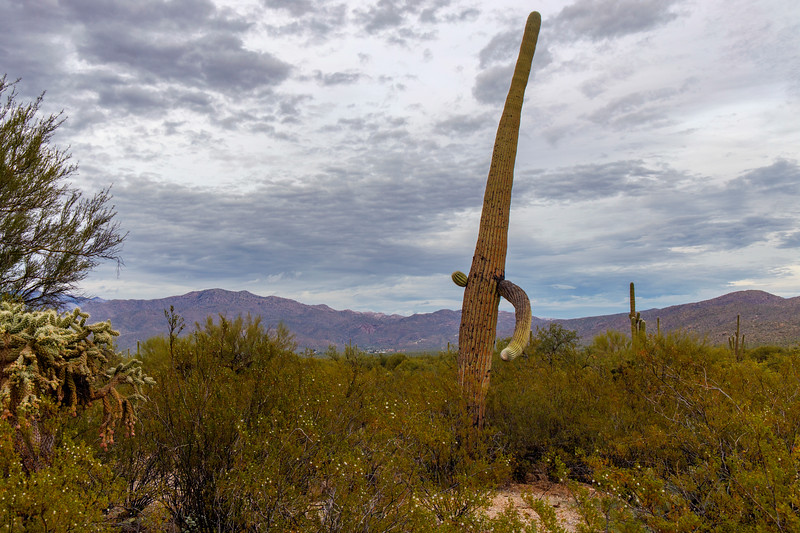 Saguaro Swagger (on Such a Cloudy Day)