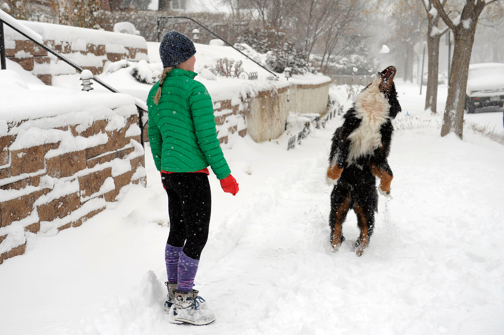 . Rigley, a Bernese Mountain dog, leaps to catch a snowball tossed by his owner, Caroline Verlander, as the two played in the snow on Ogden St in Denver  on Sunday, February, 24, 2013. Seth A. McConnell, The Denver Post