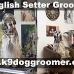 Setter dog grooming UK.jpg