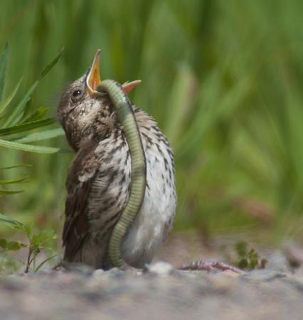 Mimics-Thrashers Catbird Mockingbird