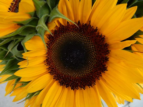 Mattituck Sunflower Maze Long Island NY