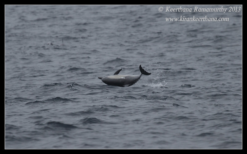 Common Dolphin in playful mood, jumped and landed sideways, Whale Watching trip, San Diego County, California, September 2013