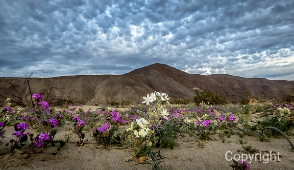Joshua Tree & Anza Borrego Spring Wildflowers