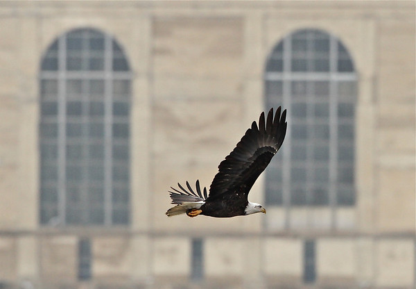 American Bald Eagles, Keokuk, Iowa 2011
