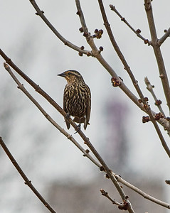 Female Red-winged Blackbird (which is neither apparently due to gender bias). See previous.