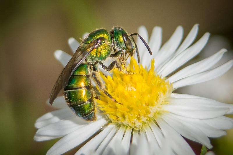 green bee 3 (1 of 1).jpg