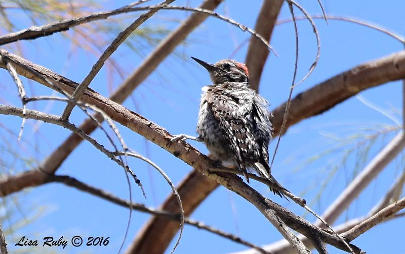 Ladder-backed Woodpecker - 5/26/2016 - Tamarisk Grove Campground