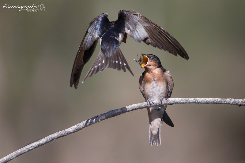 Welcome Swallow Feeding Young