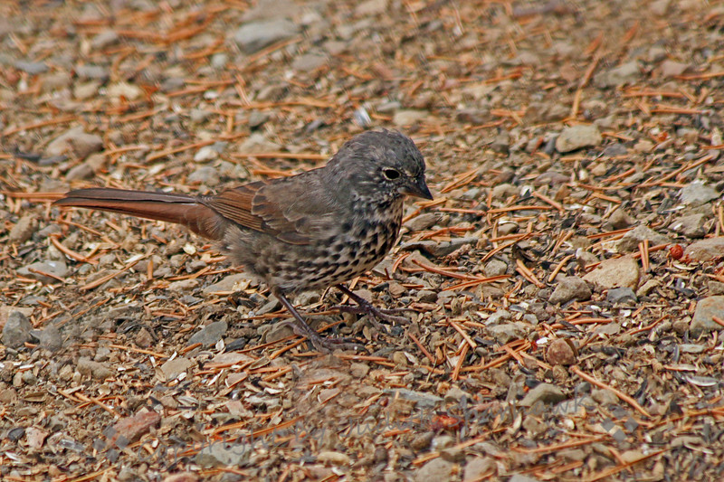 "Fox Sparrow ~ This ""sooty"" form of Fox Sparrow was photographed at Virginia Lakes Resort, at 9770 feet elevation, on the east side of the Sierras."