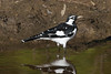 Magpie-lark (Grallina cyanoleuca) - Euroa, Victoria